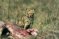Golden Jackal Canis aureus Length 70-110cm Aka Common Jackal, it recalls a small wolf. Coat is brown and grizzled-grey. Diet is predatory and scavenging. Widespread in North Africa, Middle East and Asia.