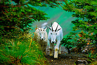 Mountain goats, Logan Pass, Glacier National Park, Montana