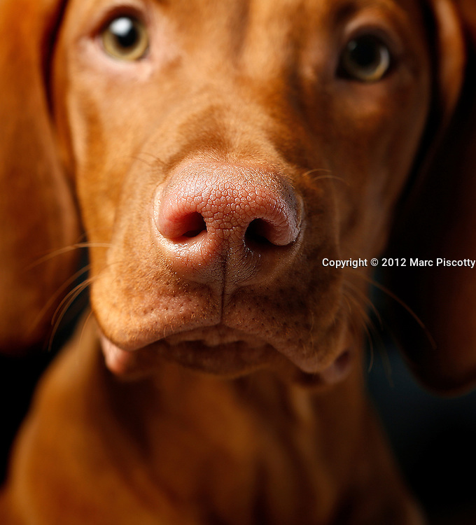 SHOT 12/12/12 5:16:56 PM - Photos of Freckles, a 17 week old male Vizsla, and his owner Lynn Sywyj of Denver, Co.(Photo by Marc Piscotty / © 2012)