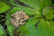 Plain grass frog (Ptychadena anchietae)<br /> Marakele Private Reserve, Waterberg Biosphere Reserve<br /> Limpopo Province<br /> SOUTH AFRICA