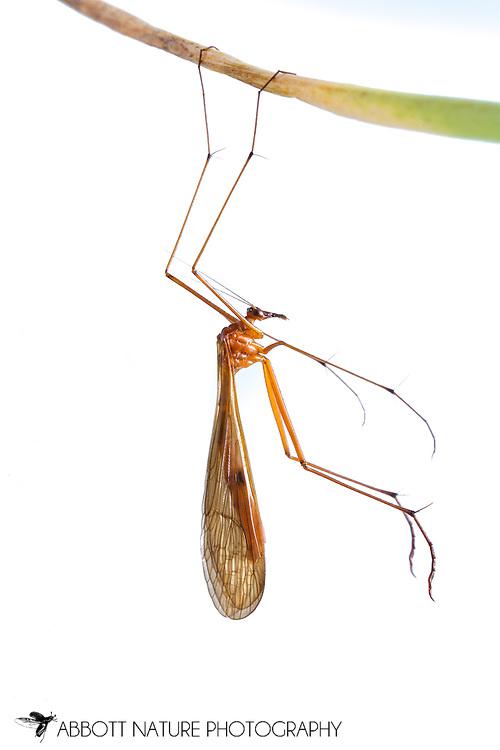 Hangingfly (Bittacus texanus)<br /> TEXAS: Cameron Co.<br /> Las Palomas Wildlife Management Area; Boca Chica<br /> off Hwy 4<br /> 9-Nov-2014<br /> J.C. Abbott &amp; K.K. Abbott