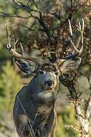 Mule Deer [Odocoileus hemionus] buck, polished antlers, looking to mate during the rut season; Fremont County, Colorado