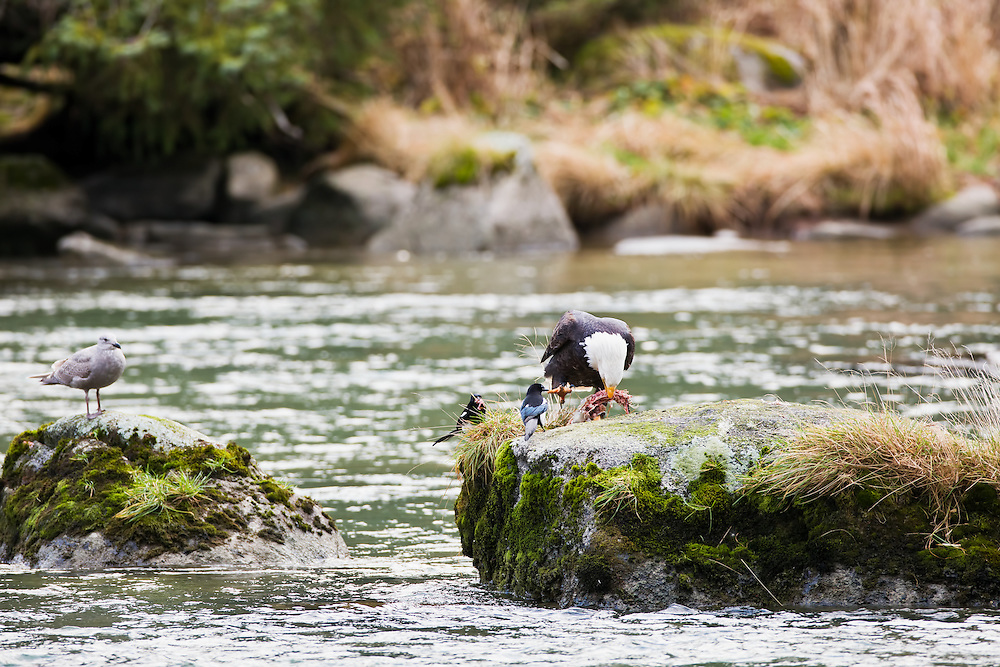 A bald eagle (Haliaeetus leucocephalus) on a boulder in Chilkoot River near Chilkoot Lake feeds on a salmon carcass as two black-billed magpies (Pica pica) and a seagull look on waiting for scraps near Haines in Southeast Alaska. Winter. Morning.