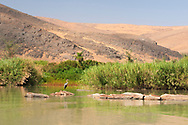 Africa, Namibia, Kuene, Kuene river,Ardea goliath, Goliath Heron