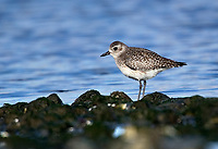 Dunlin (Calidris alpina), Cambell River, Vancouver Island, Canada   Photo: Peter Llewellyn