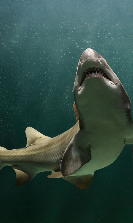 Sand Tiger Shark | Carcharias taurus