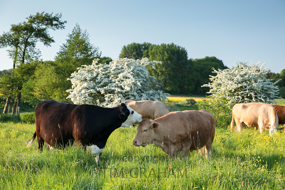 Cows nuzzling together in late Spring / early Summer in fields near Burford in the Oxfordshire Cotswolds, UK