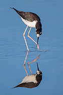 Black-necked stilt wading in shallows suddenl turns its attention to the side, with reflection, Salton Sea, CA, © 2011 David A. Ponton