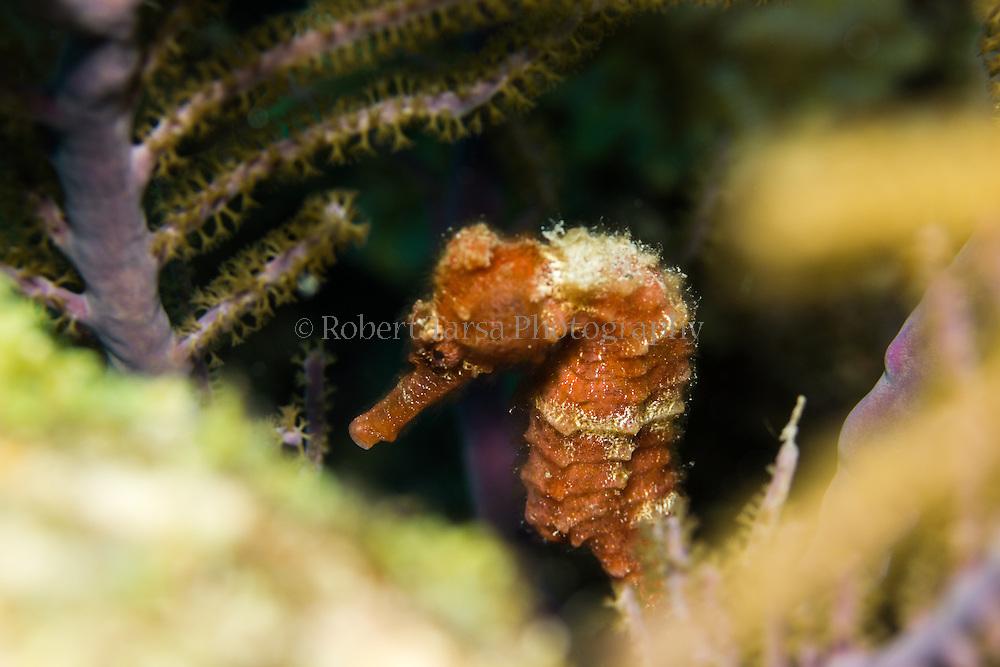 Longsnout seahorse hiding amongst soft coral.