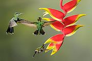Green Thorntail - (Discosura conversii, Magnificent Hummingbird - Eugenes fulgens, three, White-necked Jacobin - Florisuga mellivora