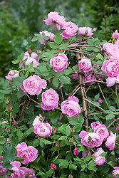 Rosa 'Comte de Chambord'  growing over round twig hazel domes in Arne Maynard's Bicentenary Garden