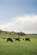 Black Angus cattle of Panther Ranch in Donnelly, Idaho