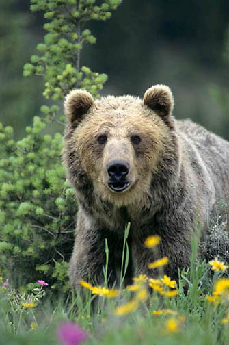 Grizzly Bear, (Ursus horribilis) Montana. Grizzly bear in flowers.  Captive Animal.