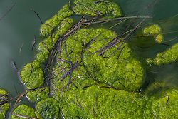 Algae floating on the surface of Great Bay on August 16, 2016, in Newington, New Hampshire.