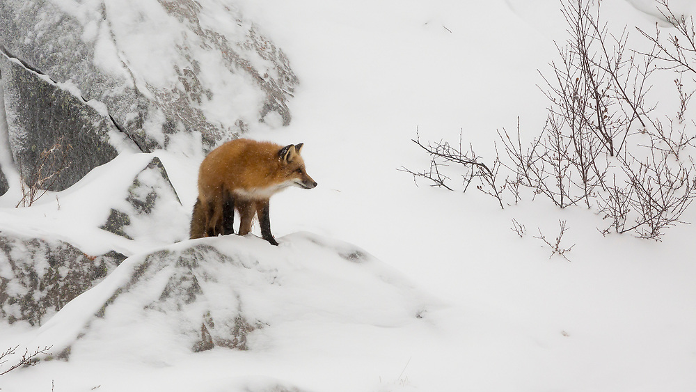 The Red Fox is the largest fox (up to 30lbs) and inhabits the entire Northern Hemisphere. The fox in this photo was searching for dinner but did not have any luck.  He posed briefly on a rock outcrop for one last look before moving to a new area.