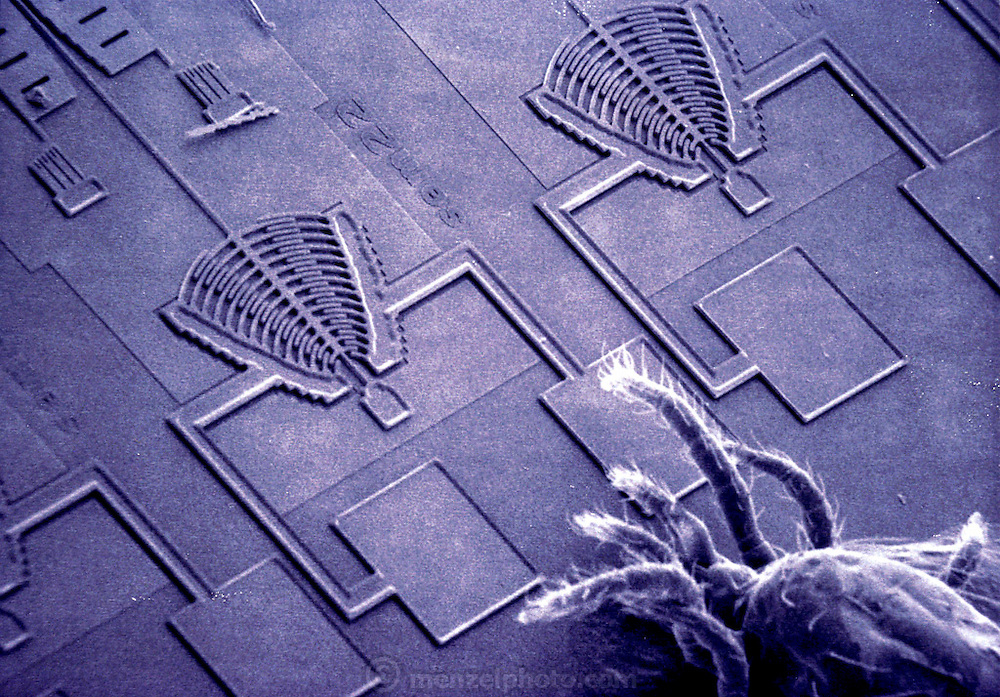 Micro Technology: Micromechanics: Scanning electron micrograph (SEM) of a mite (Acarimetaseiulus occidentalis) on the surface of a silicon micro-resonator 'chip'. The micro- resonator, or 'semaphore structure', is a product of micromechanics. Micro-resonators are use to make tiny vibration sensors for engineering use. The comb-like detector ends of the micro- resonators are seen here, a thin strand of silicon running from the left detector toward top left is attached to a large resonant mass. The absence of a resonant mass fixed to the right detector indicates a fault in manufacture. To give an idea of scale, the silicon strand is 2 microns thick and 2 microns wide. Reid Brennan's semaphore structure with mite. [1990]