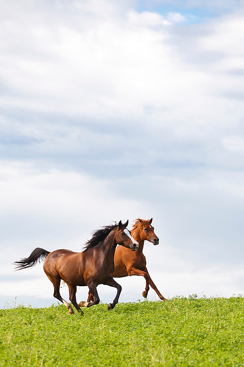 Two Arabian horses running on green grass with blue sky and fluffy clouds above