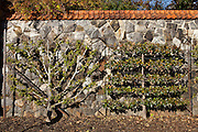 Espaliered fruit trees in the walled gardens at the Biltmore Estate privately owned by the Vanderbilt family in Asheville, NC. The house is the largest private home in America with over 250 rooms.