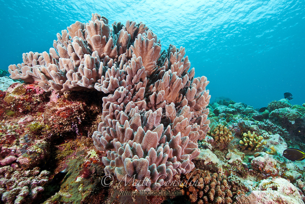 Soft coral on reef in the crystal clear waters of Palau Micronesia. (Photo by Matt Considine - Images of Asia Collection)