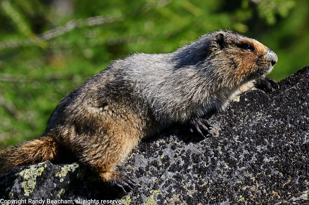 Hoary marmot sunning itself on a rock in an alpine larch talus slope ecosytem in the Northwest Peak Scenic Area in summer. Kootenai National Forest in the Purcell Mountains, northwest Montana.