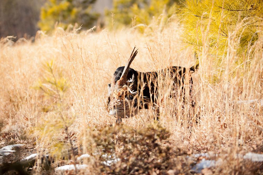 Black Lab pheasant retrieve