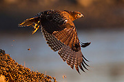 A Harlan's Hawk takes off near sunset. The Harlan's hawk is a color variation of the Red-tailed Hawk.  This is a wild bird found at Bolsa Chica wetland.  He does have leather straps around his legs that make me wonder if it was captive at one time.