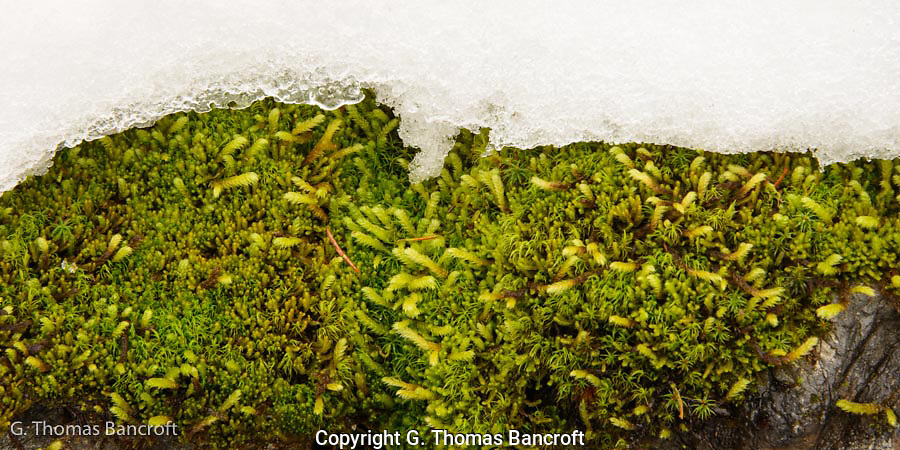Moss clung along a boulder and snow field.