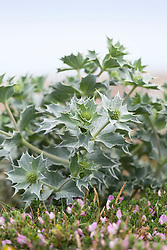 Sea Holly growing on the beach by the sea at Sandwich Bay, Kent. Eryngium maritimum