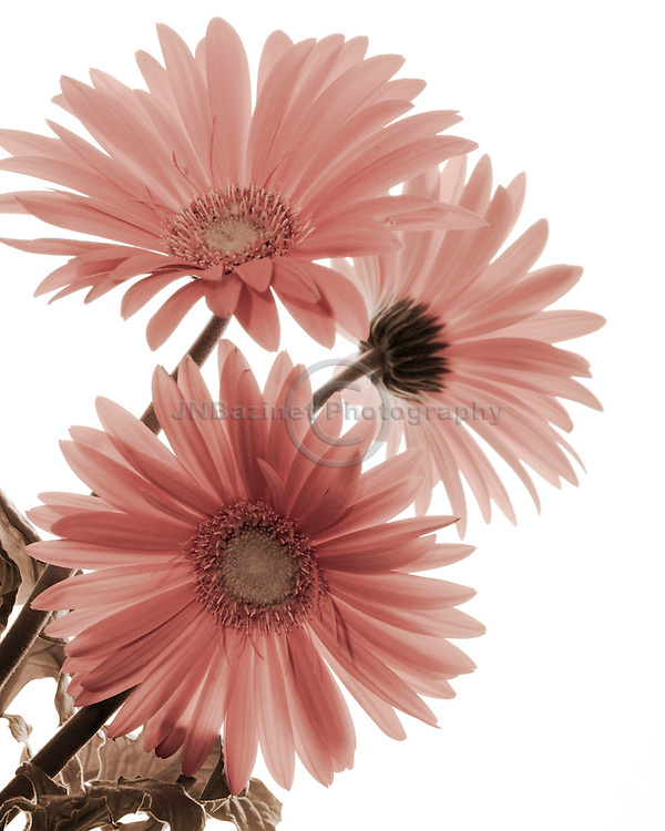 Backlit Gerbera daisies isolated on white background