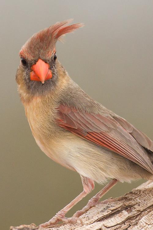 Cardinalis cardinalis, female