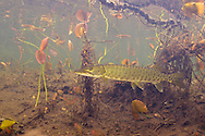 Muskellunge (juvenile)<br /> <br /> Engbretson Underwater Photography