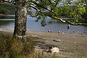 A single sheep rests beneath a tree while a freshwater angler casts off in the reduced waters of (Lake) Lyn Cynwch after the summer heatwave when lack of rainfall has lowered water levels, on 13th September 2018, in Dolgellau, Gwynedd, Wales.