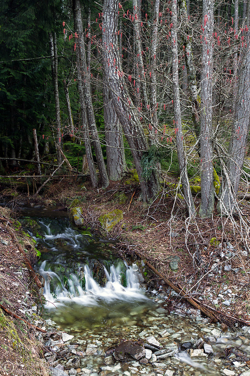 Small waterfall and red catkins on an Alder or Hazelnut tree on Salt Spring Island, British Columbia, Canada.