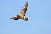 Swainson's Hawk (Buteo swainsoni) in flight on prairie<br />Taber<br />Alberta<br />Canada