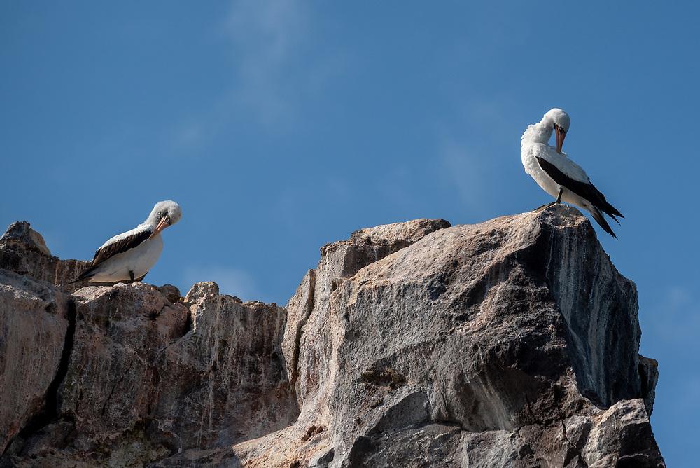 Nazca boobies on Union Rock, Galapagos Islands, Ecuador.
