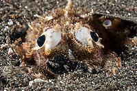 Juvenile Octopus hides in natural debris..Shot in Indonesia