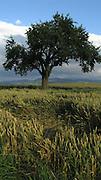 Getreidefeld mit Baum nach Gewitter im Sommer. Détail d'un champ de blé après orage avec arbre en été; cropfield with tree, summer. © Romano P. Riedo
