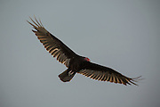 A turkey vulture (Cathartes aura ) in flight above Biscayne Natonal Park, Florida.