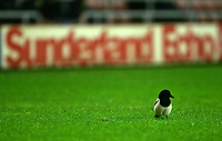 Photo: Andrew Unwin.<br /> Sunderland v Cardiff City. Coca Cola Championship. 31/10/2006.<br /> A magpie on the pitch at the Stadium of Light.