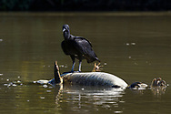 A black vulture (Coragyps atratusin) is feeding on a dead yacare caiman (Caiman yacare), floating in the Rio Paraguay, Pantanal, Mato Grosso, Brazil
