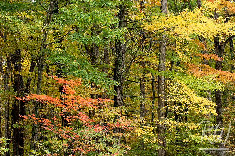 Beech Maple Trees in Fall at the Bernheim Forest, Clermont, Kentucky