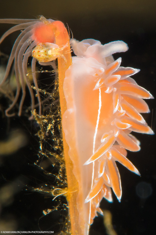 A Coryphella lineata nudibranch on a hydroid in the cold green waters of Norway. Nudibranchs exist in just about evrry climatic region, from tropical reefs to polar oceans.