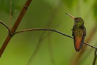 Rufous-tailed Hummingbird (Amazilia tzacatl)<br /><br />Milpe Cloudforest Reserve, Ecuador