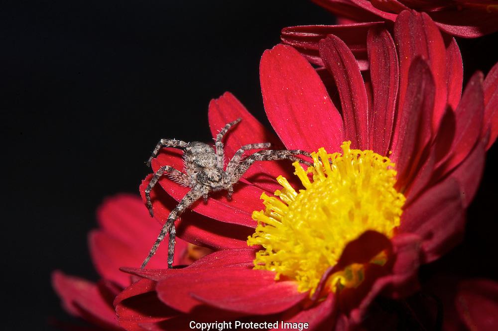 Elegant Crab Spider.  (Xisticus elegans), Comox Valley, British Columbia, Canada, Isobel Springett