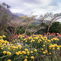 Protea flowers in bloom at the Kirstenbosch Botanical Garden, which is nestled at the eastern foot of Table Mountain, in Cape Town, South Africa.