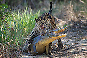 Jaguar<br /> Panthera onca<br /> Dragging caiman<br /> Cuiaba River, Brazil