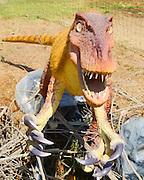 Velociraptor dinosaur. This small raptor reached just under 2 metres in length and stood around a metre tall. It was an aggressive and agile predator that lived between 80 and 70 million years ago, in the late Cretaceous period. The large claws, especially the sharp hooked claw of the hind legs, would have been lethal to its prey. This raptor also had a high brain-to-body weight ratio.
