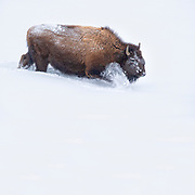 An American bison (Bison bison) forces its way through deep snow near Fountain Flat in Yellowstone National Park, Wyoming. Bison are well equiped for harsh winter conditions. They grow a winter coat of wooly underfur, which has coarse hairs that protect them from the elements. The humps on their backs also contain muscles supported by long vertebrae that help swing their heads to move vast amounts of snow.