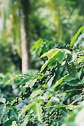 Cuban Coffee Beans Cuba Photography