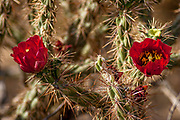 Cholla cactus flowers in the spring in Saguaro National Park, Arizona